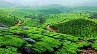 munnar_kerala_india